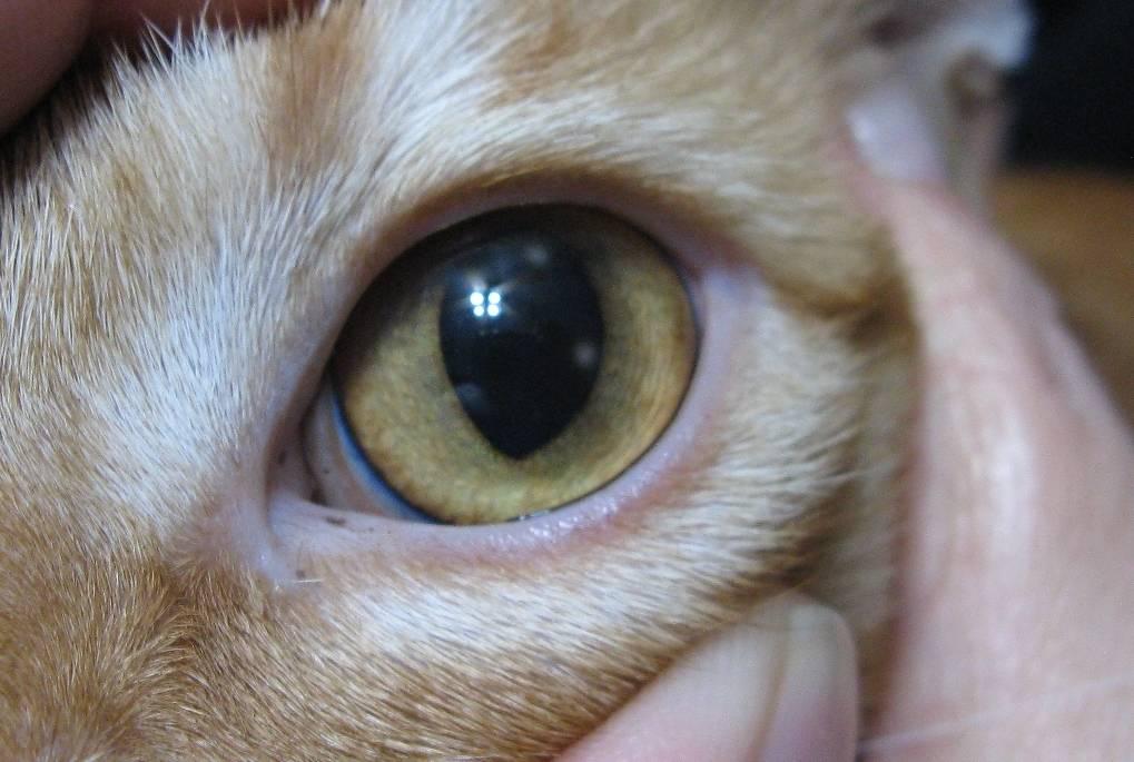 Как вылечить третье веко у кошки в домашних условиях
