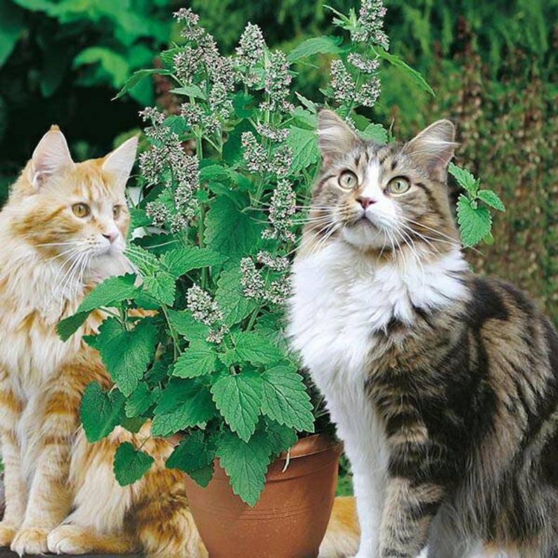 Почему коты любят валерьянку и как она действует