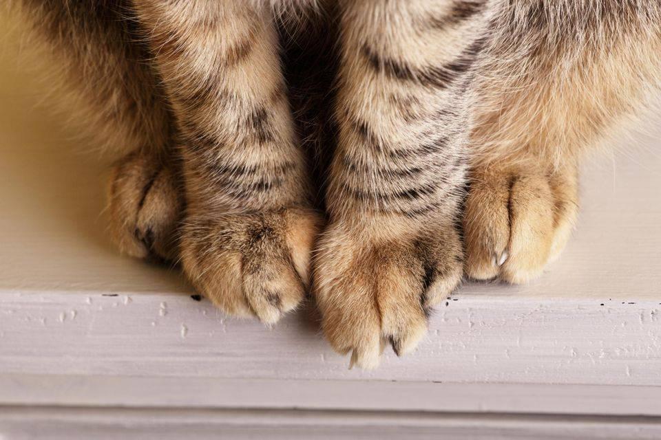 У кота опухла лапа где подушечки