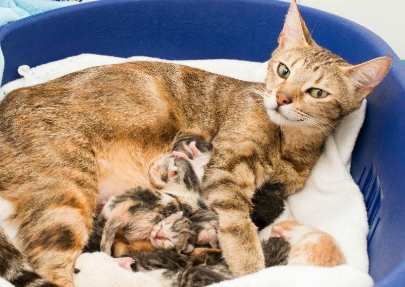 Как проходят роды у кошки подготовка процесс и его этапы