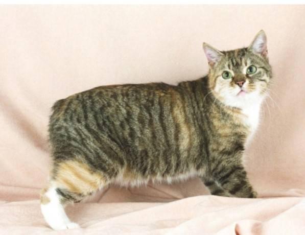Японская кошка без хвоста