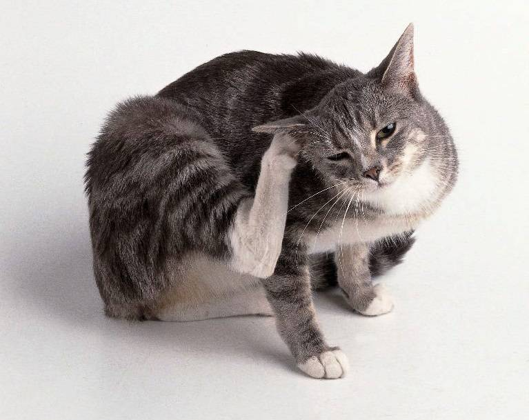 Эффективные народные средства от блох у кошек
