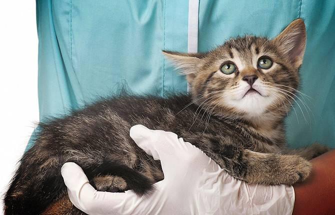 Признаки заболеваний почек у кошек