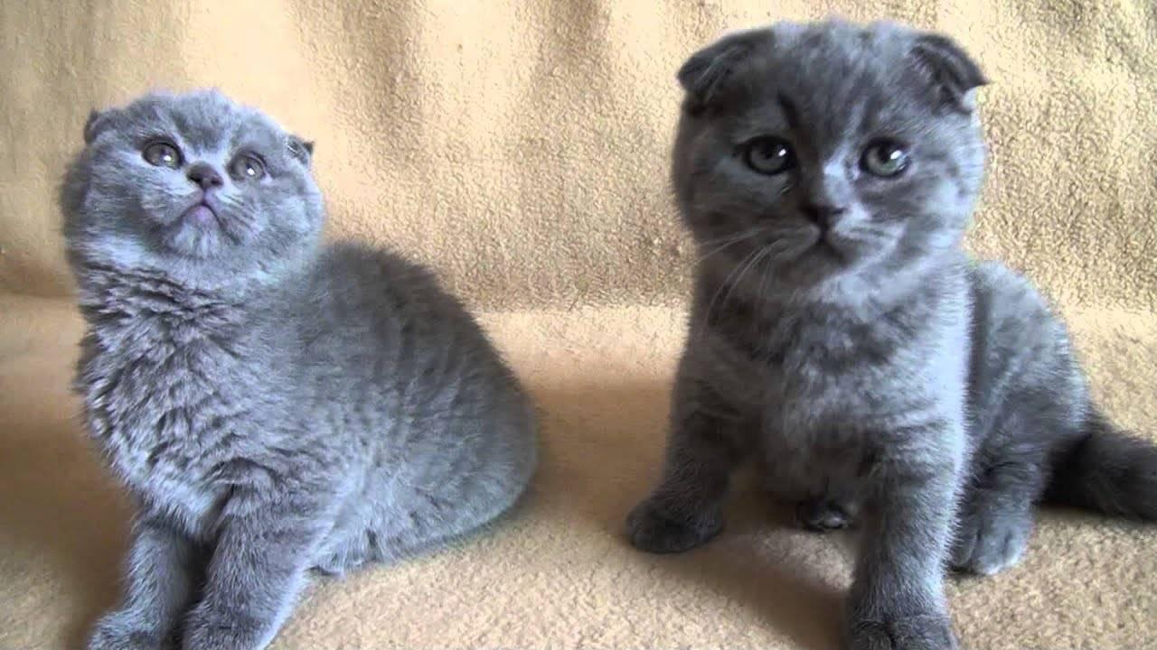Клички для вислоухих шотландских кошек девочек