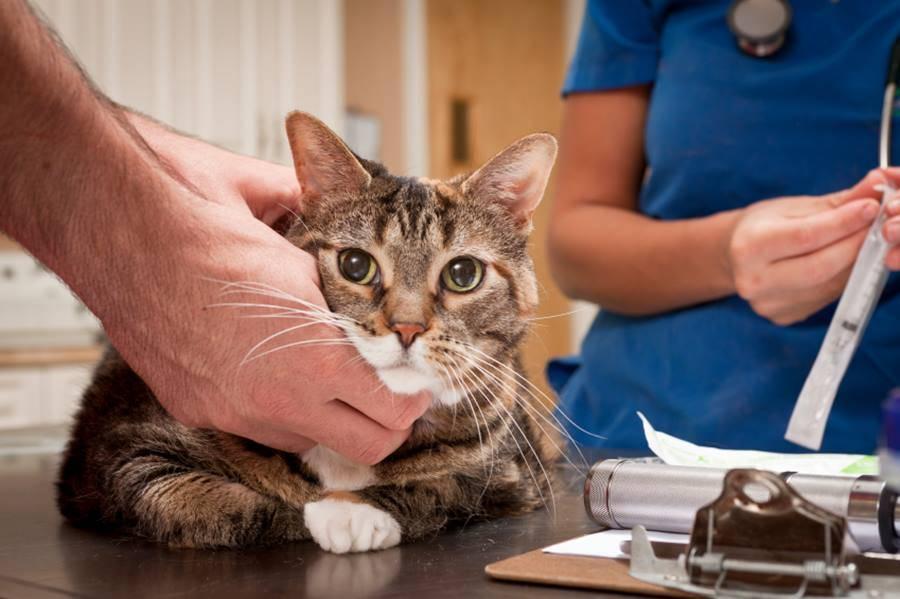 Диабет и гипогликемия у кошки — Лечим диабет