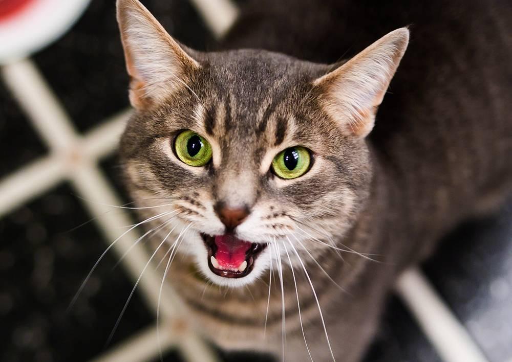 Ларингит у кошек: причины, симптомы, лечение