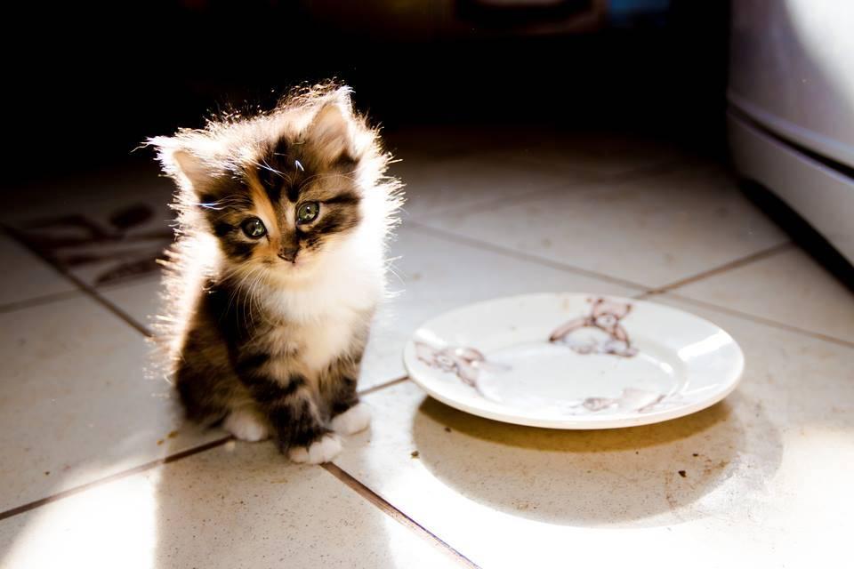 Когда начинать прикорм котят и чем?