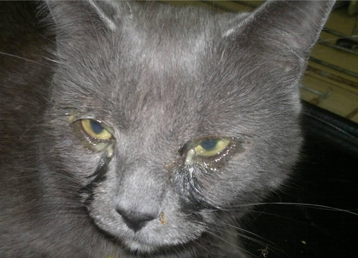 Какова опасность для человека при хламидиозе у кошек