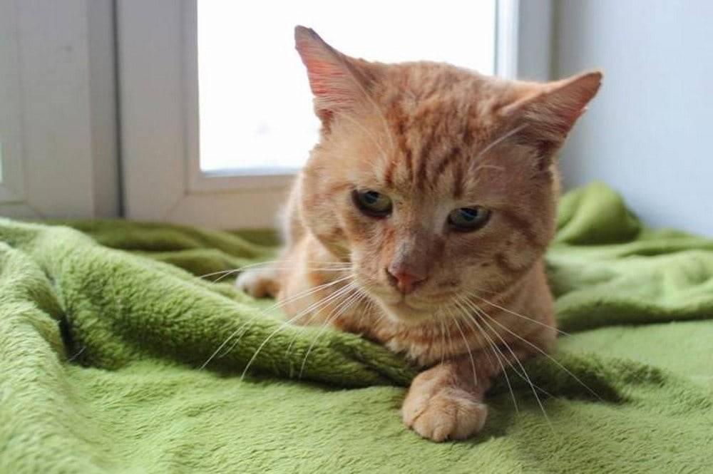 Лейкоз у кошек: симптомы вирусной лейкемии, профилактика и лечение заболевания, отзывы ветеринаров и владельцев