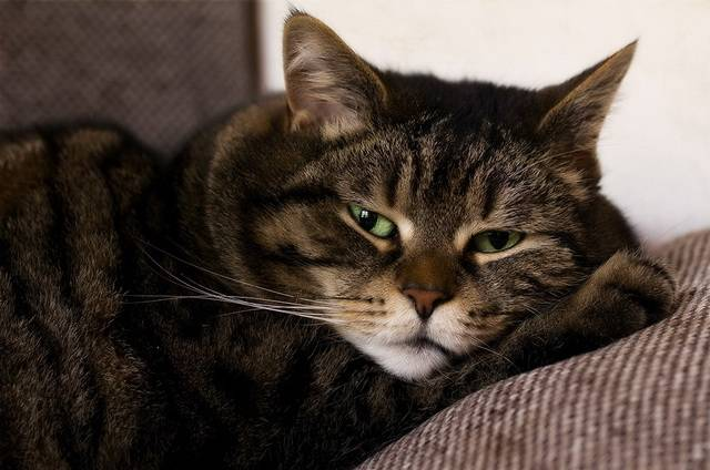 Понос у кота, кошки - что делать, лечение в домашних условиях, лекарства