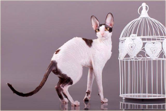Корниш рекс разведение породистых кошек