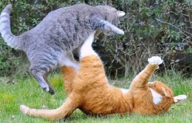 Из-за чего возникают гнойные раны на щеках у кошек