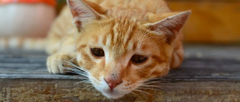 Симптомы чумки у котов и кошек если шанс на лечение