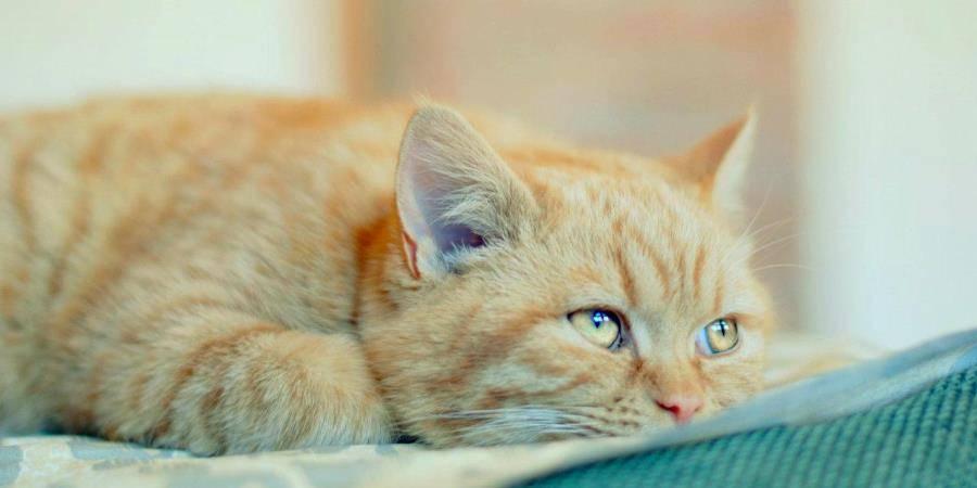 Короновирусный энтерит у кошки симптомы и лечение передатся ли человеку