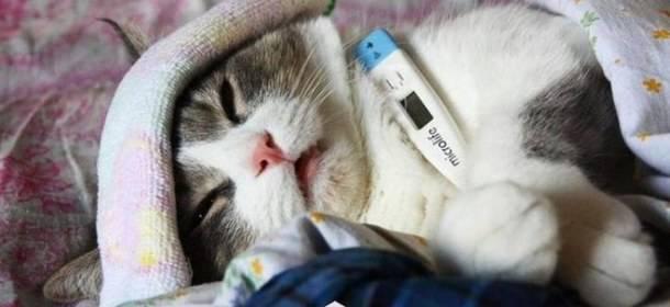 Стоматит у кошек и котов