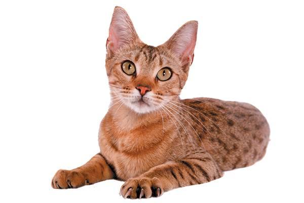 Породы полосатых кошек: описание, характер и фото домашних кошек с диким окрасом