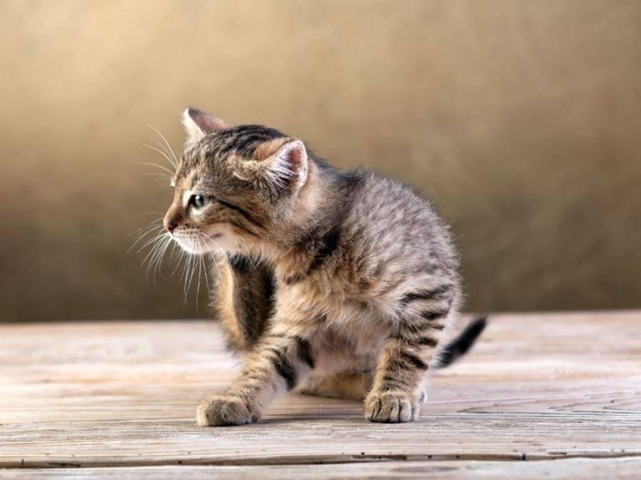 Блохи на новорожденных котятах