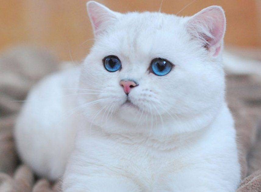 Красивые имена для британских кошек девочек