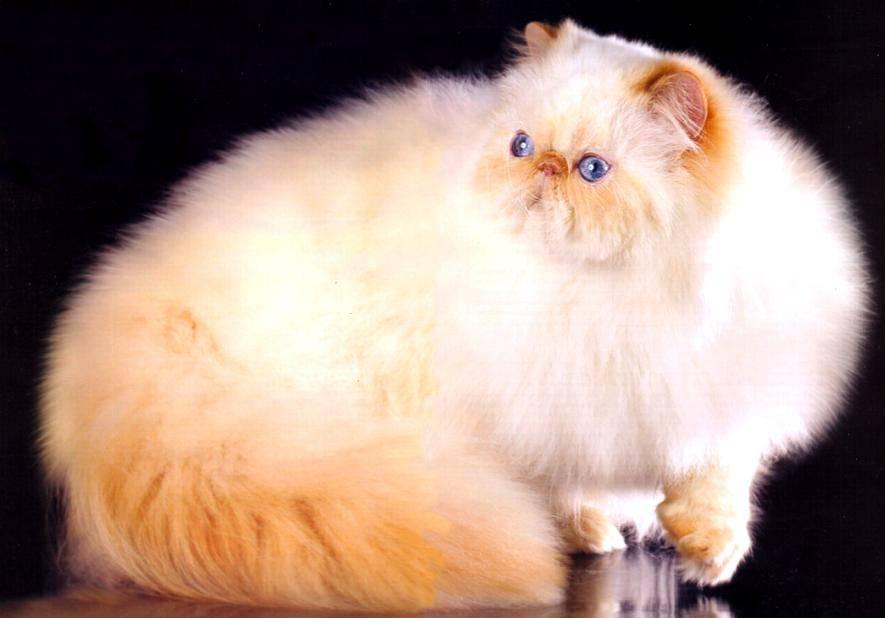 Гималайская кошка: фото, история, характер, здоровье, уход