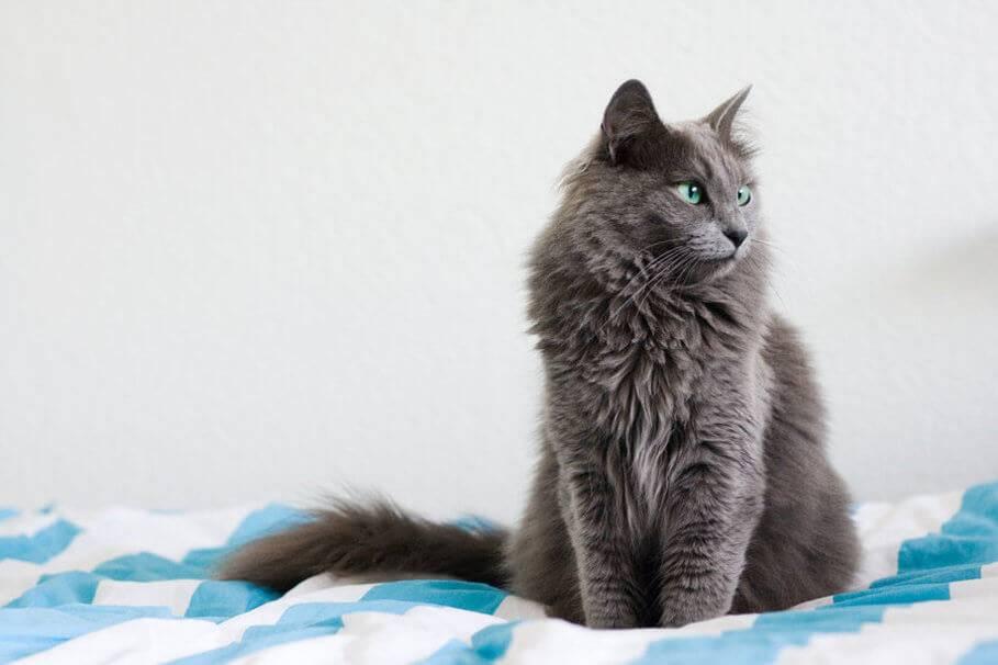 Русская голубая кошка длинношерстная уход за шерстью