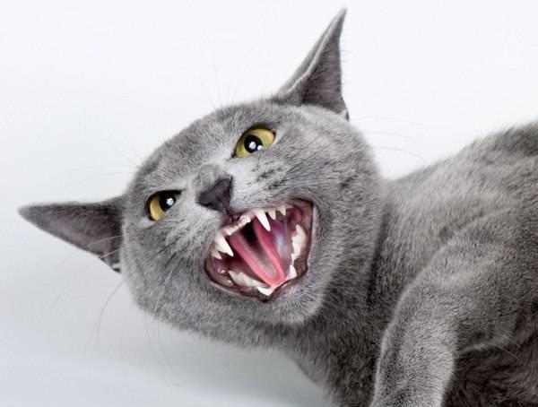 Почему кошки шипят и кидаются на человека