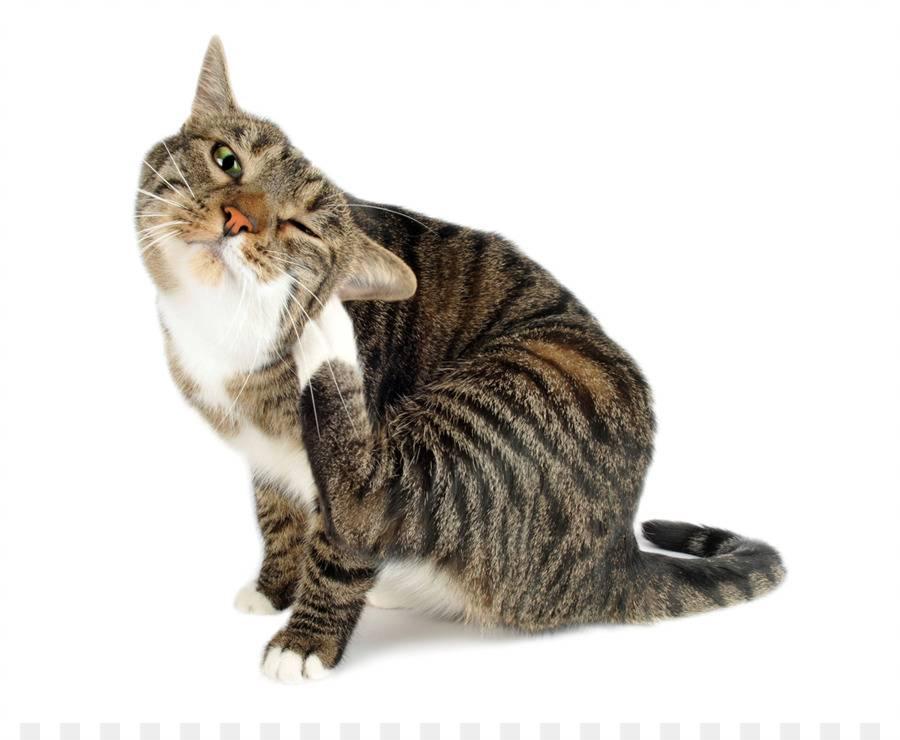 Зуд и расчесывания у кошки