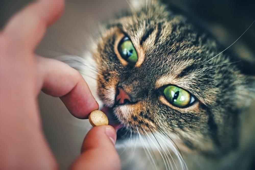Рвота с кровью при гастрите у кошек