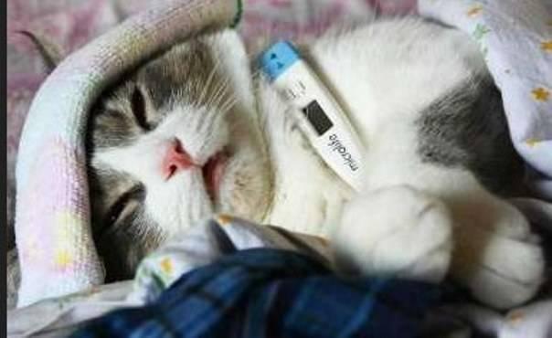 Микоплазмоз у кошек лечение - Муркин Дом