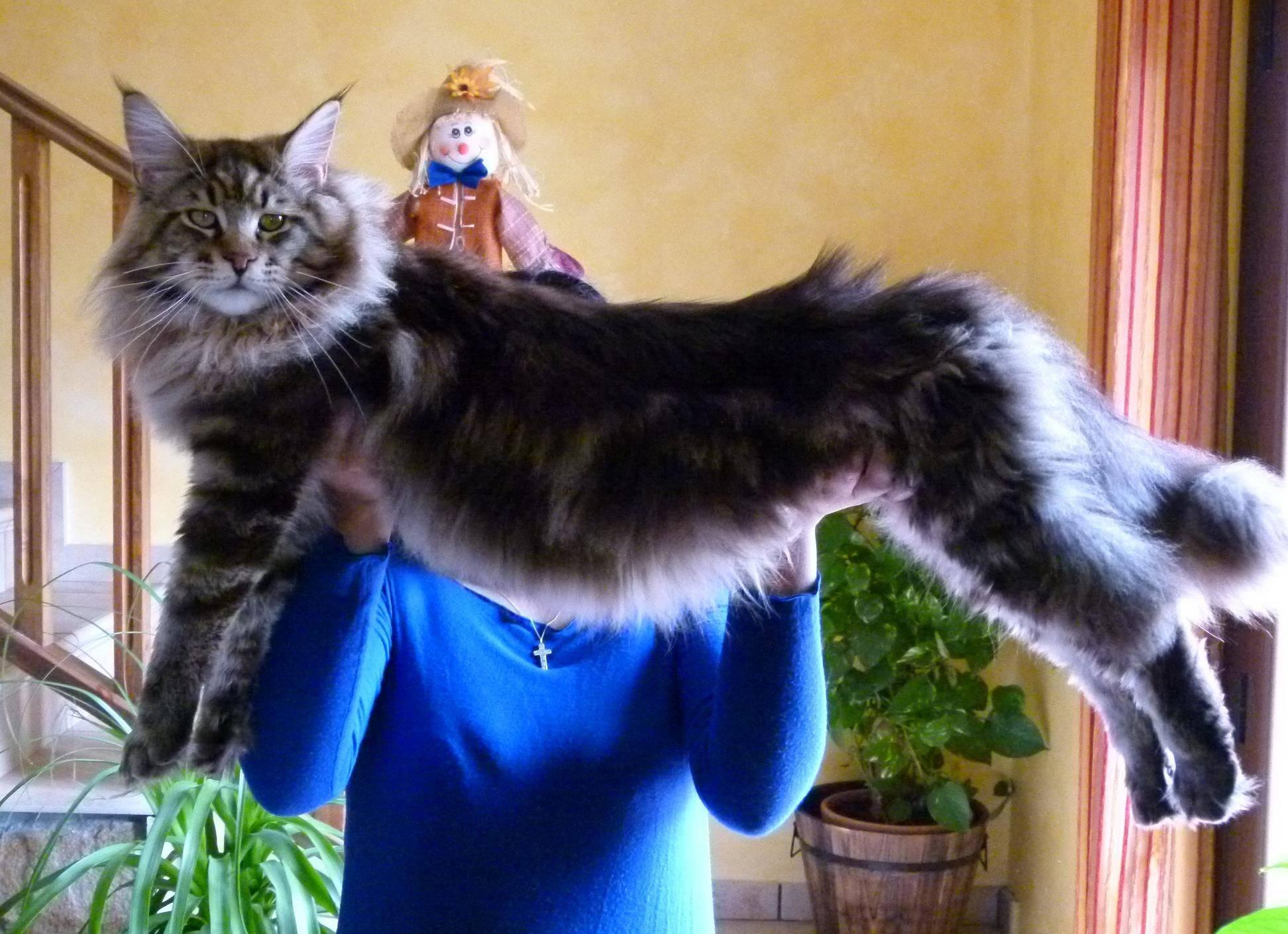 мейкун кошка фото вес сделать папку