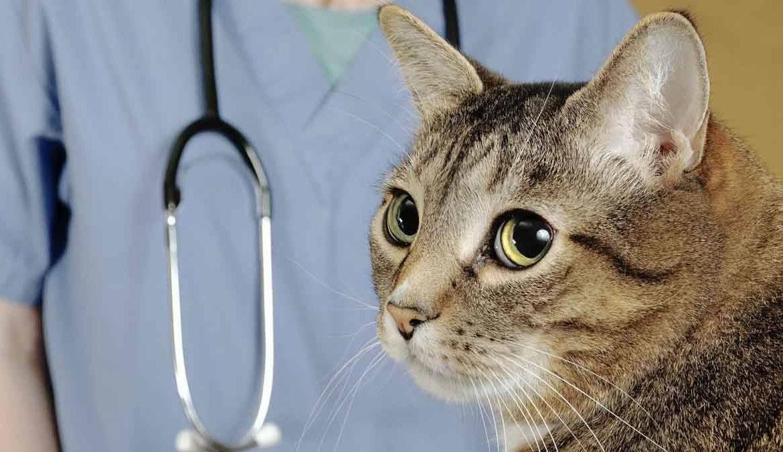 У кота отказали задние лапы: причины, что делать