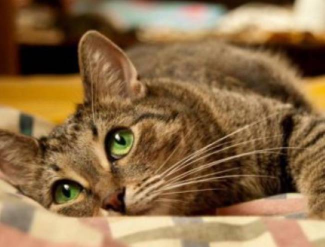 Как проявляется флегмона у кошек насколько опасна и как ее лечить
