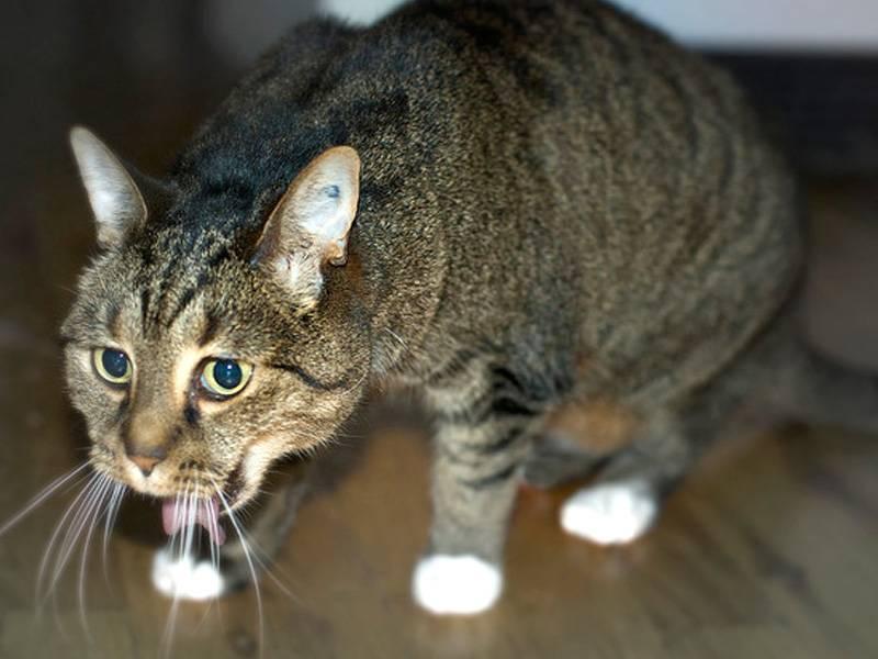 Что делать, если кот или кошка тяжело дышит животом и лежит с открытым ртом