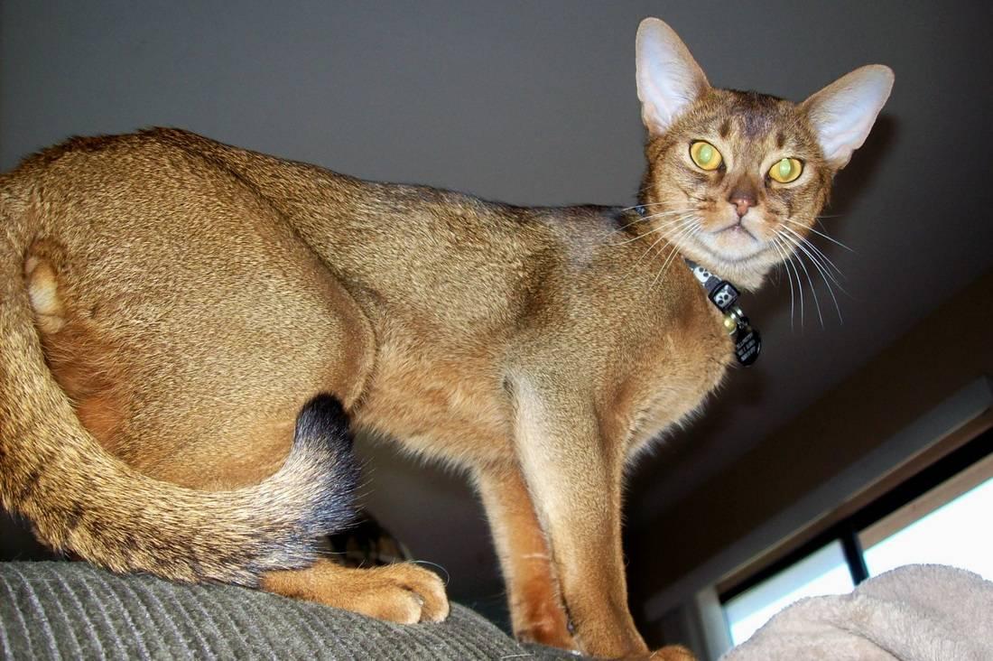 Абиссинская кошка соррель особенности