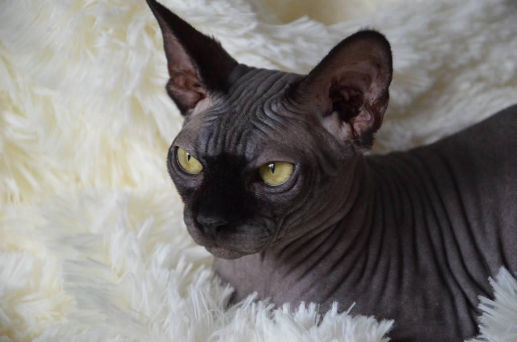 песец сфинкс черный кошка картинки получается достаточно