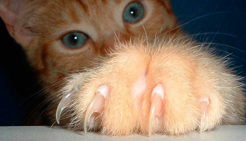Как подстричь когти коту в домашних условиях