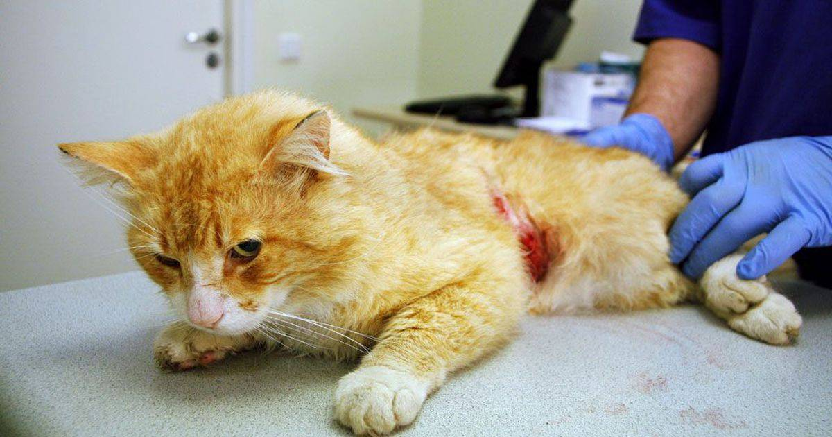 Как вылечить рану у кота на ноге