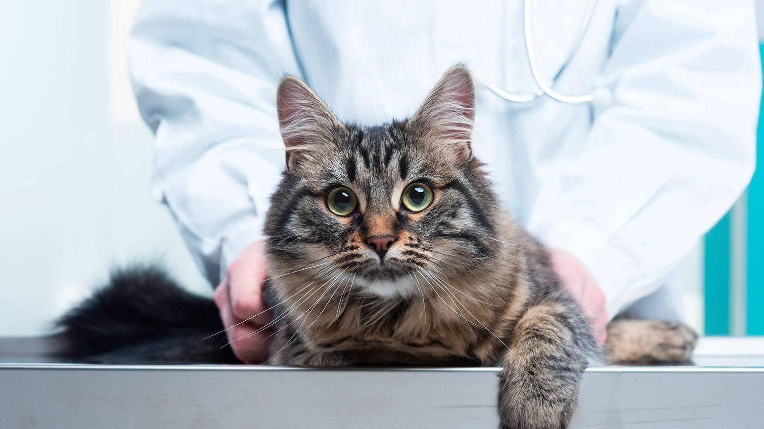 Вылечит цистит у кота в домашних условиях