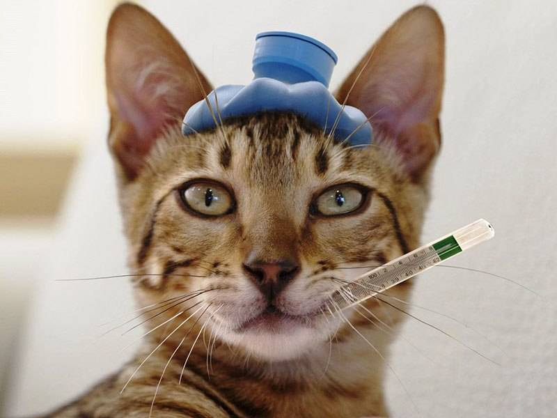 Как понять, что у кошки температура?