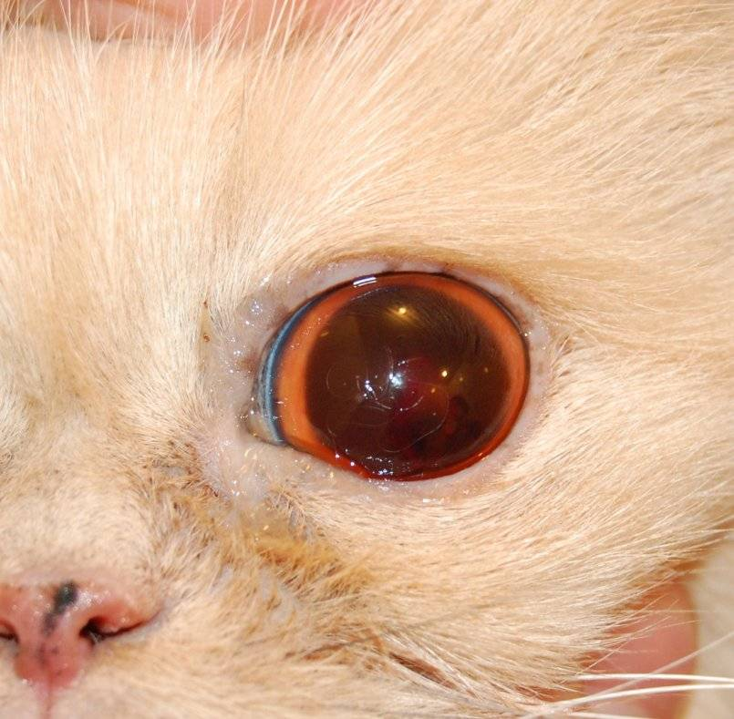 Бельмо на глазу у котенка лечение в домашних условиях