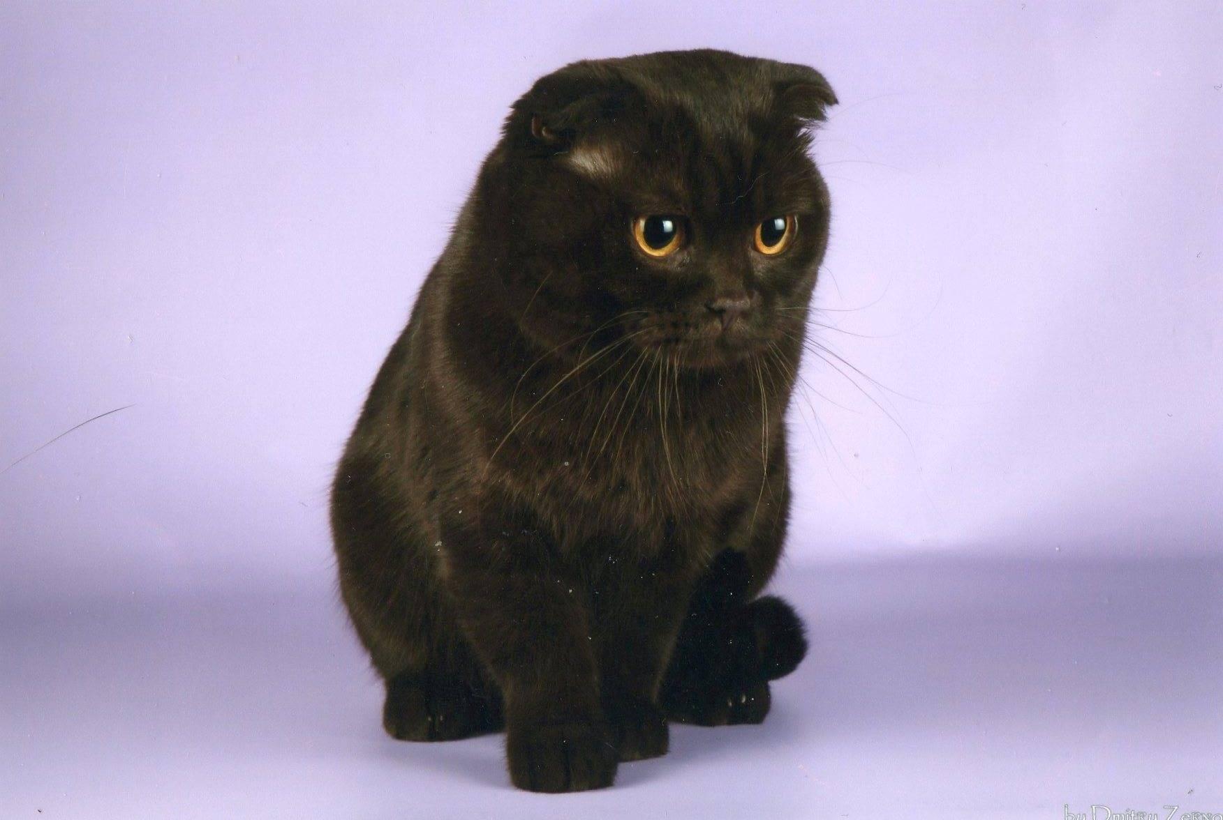 Подробное описание породы кошек йоркская шоколадная
