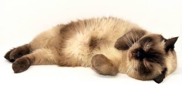 Какой средний вес кота