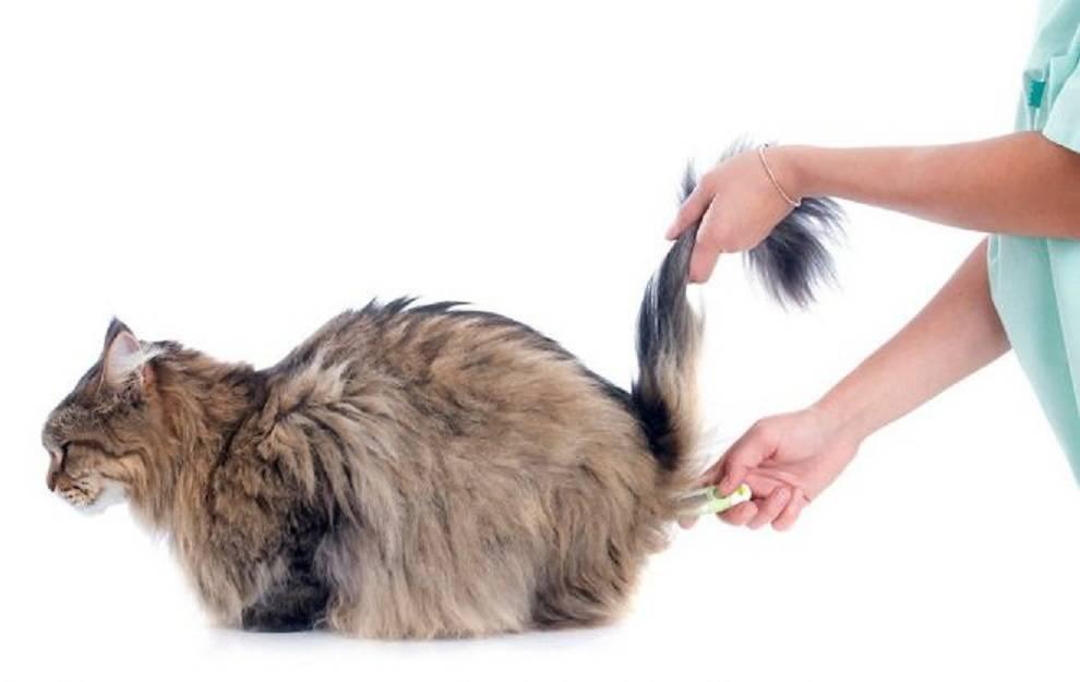 У кота температура 40.5 что делать. Как сбить температуру у кошки в домашних условиях. Почему у кошки поднимается температура.