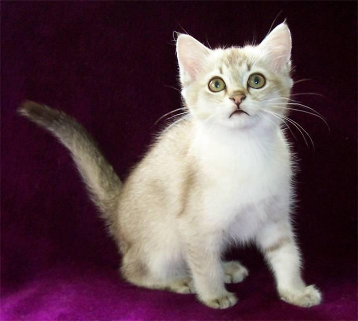 Бурмилла кошка описание породы