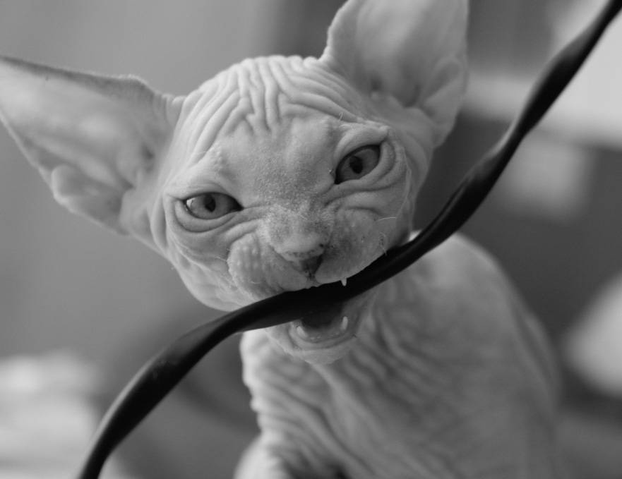 Когда у котят меняются зубы на постоянные