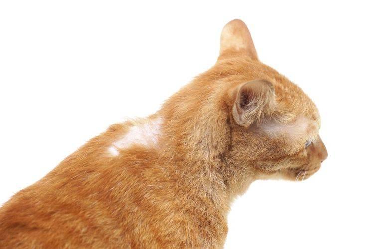Чешется кот но блох нет что делать