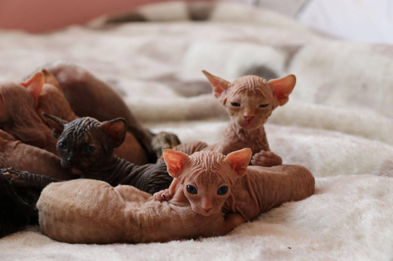 Сколько живут сфинксы кошки и коты