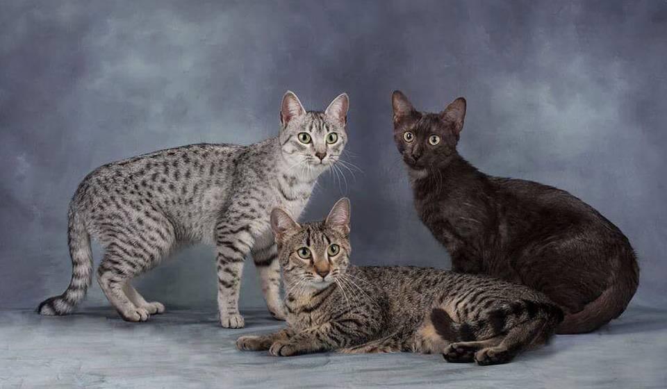 Кошка египетская мау: описание характера и внешности, уход за питомцем и его содержание, фото кота