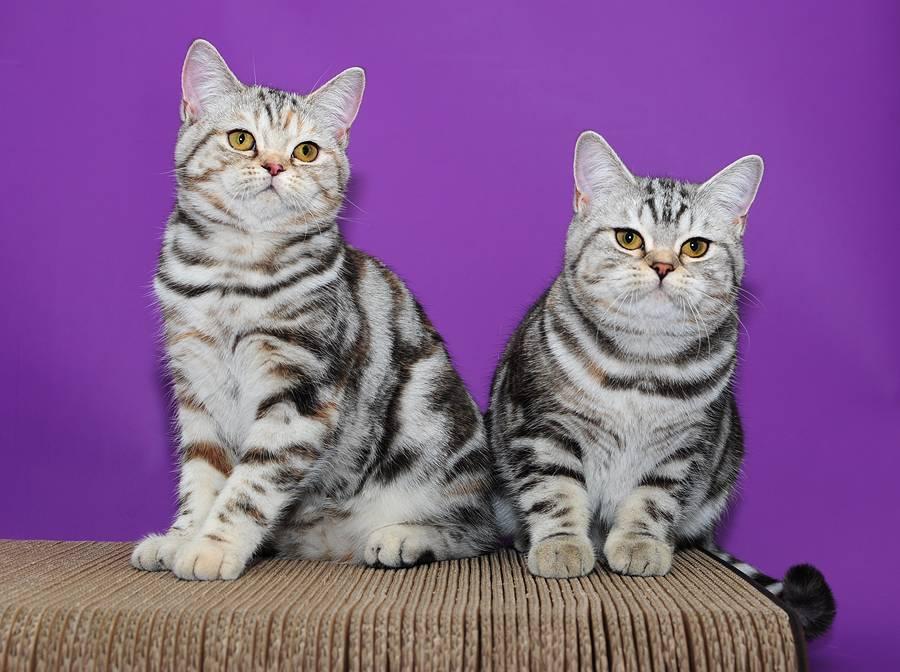 провести окрасы британских коты окрас картинки появлением