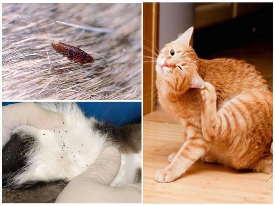 Причины появления у кошки перхоти
