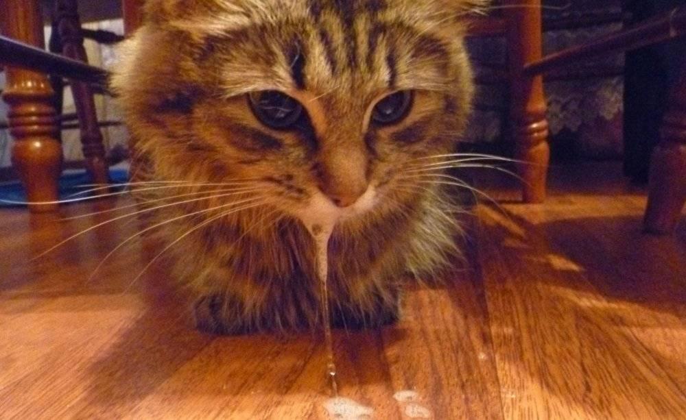 Судороги у кошек симптомы